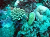 Acropora and Fungia