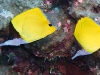 Longnose Butterfly