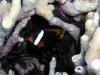 Melanopus Clownfish
