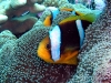 Chrysopterus Clownfish