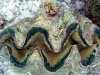 Tridacna gigas