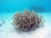 Lagoon Staghorn Acropora