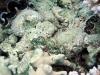 Maxima clams
